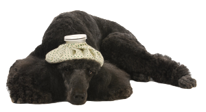 Black Sick Poodle_transparent