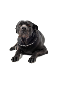 Black dog with chain collar 533x800
