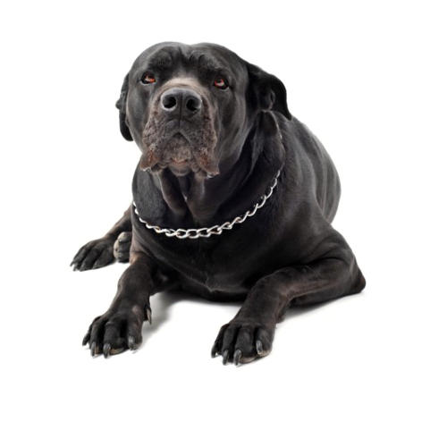 A large black mastiff with a chain collar round his neck