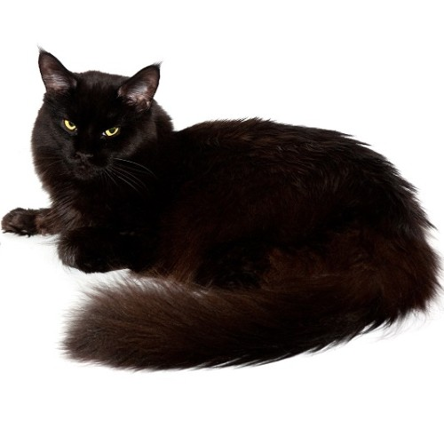 A fluffy black cat with yellow eyes