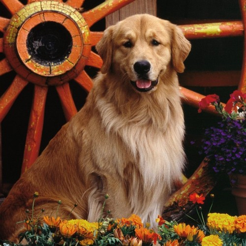 A golden retriever sitting in front of an orange wagon wheel surrounded by multi colored flowers