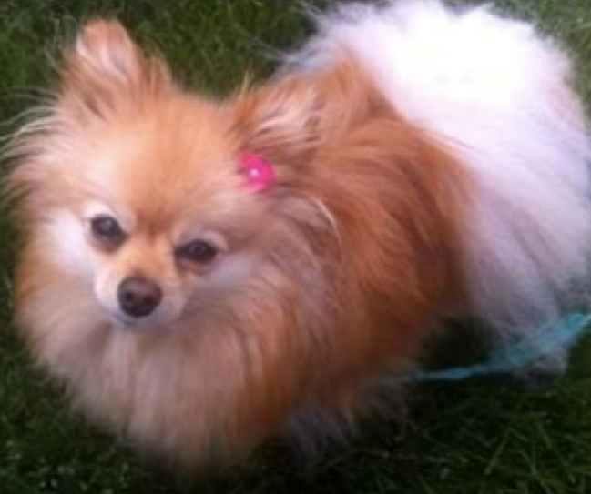A fluffy tan and white Pomeranian dog named Lexi