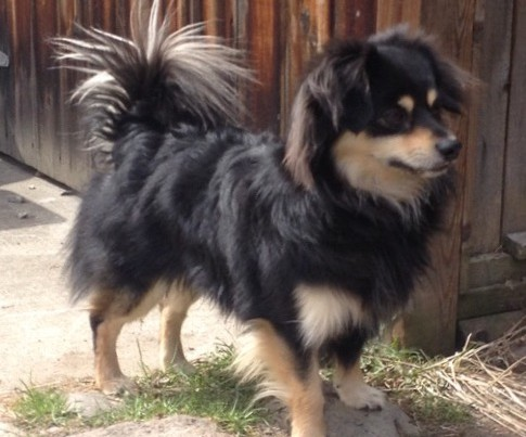 A fluffy black and tan dog named Loki