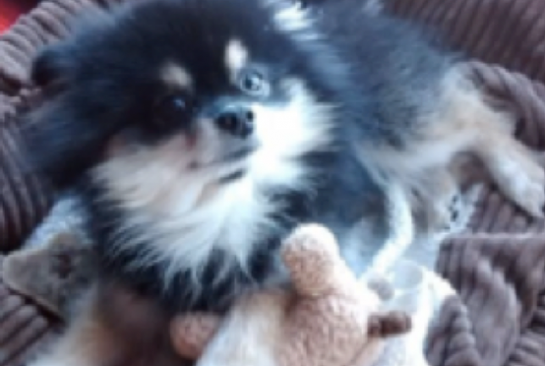 A fluffy black and tan Pomeranian named Simba. Laying in his bed with his toy