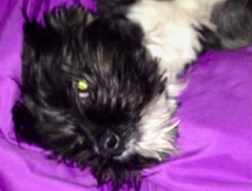 A small white and black dog named Dezzy laying down on a purple blanket