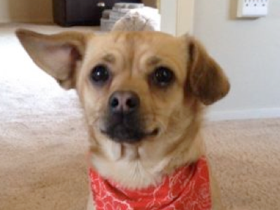 A small beige dog named Abby wearing a red bandanna