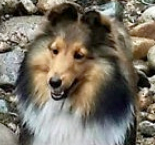 A tan, white and black Shetland Sheepdog named Lumen